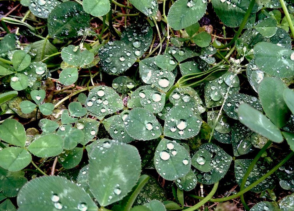 雨の三つ葉